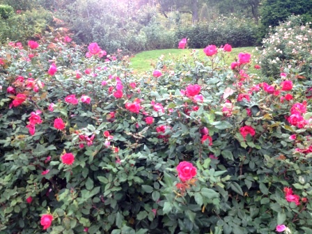 20121105_portland-rose-garden.jpg