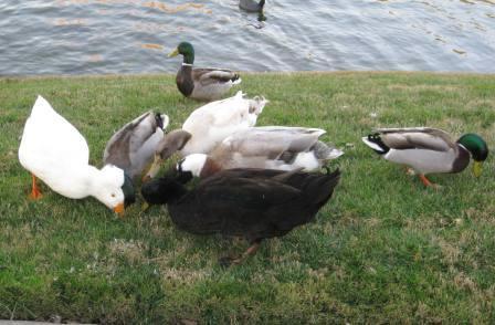 110214_geese-mallards.jpg