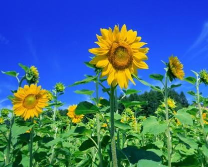 20140714-sunflower.jpg