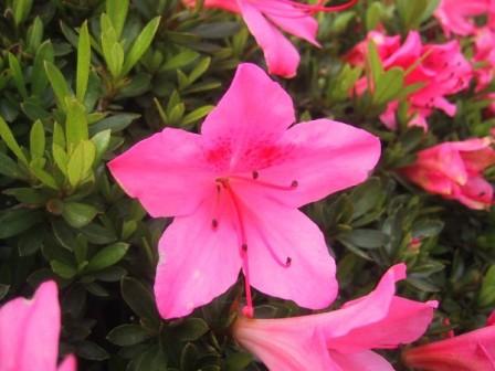 R-indicum_satsuki_blossom