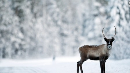 reindeer-snow-getty